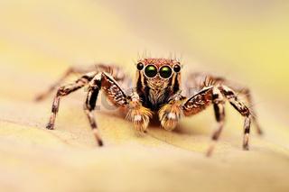 Male jumping spider, Plexippus petersi looking at you, Satara district, Maharashtra, India.