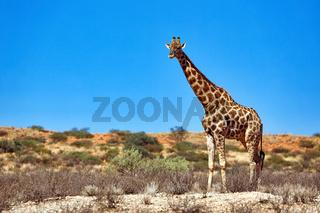 Giraffe in den Dünen, Kgalagadi-Transfrontier-Nationalpark, Südafrika, (Giraffa) | Giraffe at the dunes, Kgalagadi Transfrontier National Park, South Africa, (Giraffa)