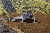 Portrait of the leopard gecko (Eublepharis macularius) on a sand