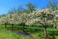 Kleine blühende Obstbäume in diagonaler Reihe