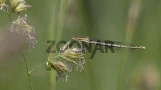 Gemeine Federlibelle Weibchen