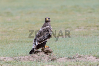 steppe eagle stand on wilderness