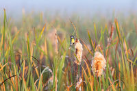 Great tit on a bulrush in the wetland