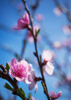 Pfirsichblüte im Burgenland