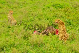 Two Cheetah eats Gnu