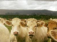 Bulls grown for slaughter for meat.