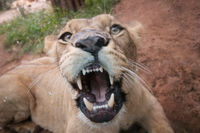 female lion showing teeth , looking at camera