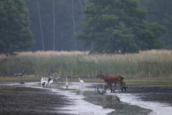 Rottier und Kalb durchqueren einen Fluss