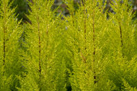 Conifer citrus cypress plant