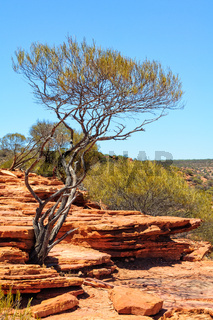 Surviving shrub - Kalbarri