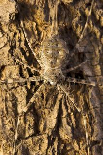 Tree trunk spider or two-tailed spider, Hersilia sp, Hersiliidae, Aarey milk colony Mumbai