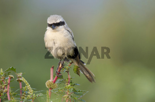 Red backed Shrike, Lanius collurio near Pune Maharashtra, India