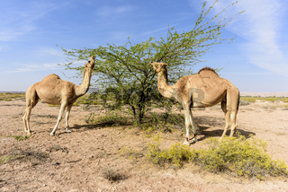 Camels in the Acacia forest, Sultanate of OMAN