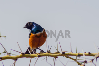 Superb Starling with naughty look on a branch