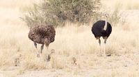 Ostrich family walking in the Kalahari