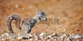 Erdhoernchen, Kgalagadi-Transfrontier-Nationalpark, Südafrika, (Xerus inauris) | Ground squirrel, Kgalagadi Transfrontier National Park, South Africa, (Xerus inauris)