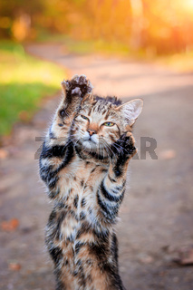 Domestic cat for a walk in the autumn park. Home pet. Cat and autumn. Bengal cat kitten.