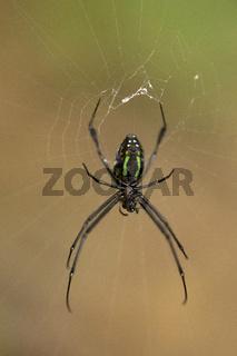 Spider, Leucauge sp, Tetragnathidae, Jampue hills, Tripura