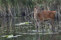 Rottier in einem Teich