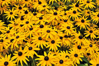 Beautiful yellow rudbeckia flowers closeup on green grass background