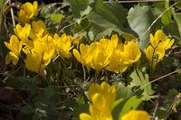 Gelbe Herbstzeitlose (Colchicum autumnale)
