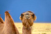 Bactrian camel portrait in steppe