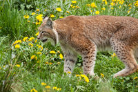 Eurasische Luchs oder Nordluchs (Lynx lynx)