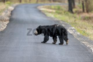 Sloth bear crossing highway near Chandrapur, Tadoba, Maharashtra, India