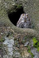Waldkauz ruht vor einer Baumhoehle / Strix aluco
