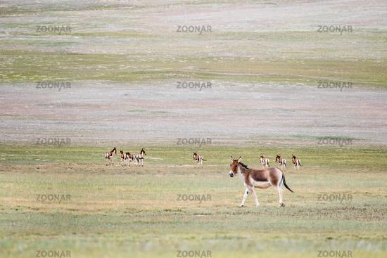 equus kiang, wild ass in golmud