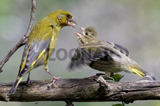 Grünfink mit Ästling