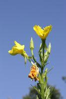 Gemeine Nachtkerze, Blüte