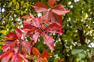 Red leaves of wild wine in the garden