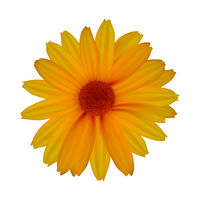 Yellow daisy isolated on white background
