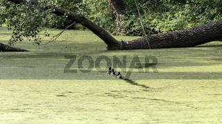 Spur durch Wasserlinsen im Teich, Stockenten (Anas platyrhynchos)