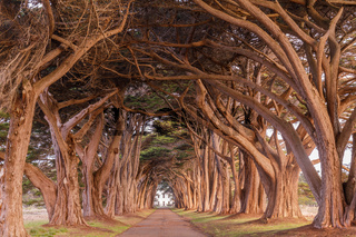 Cypress Tree Tunnel painted in golden light during sunrise.