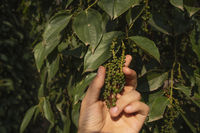 Hand of the farmer holding a raw green pepper which growing on a trees. Black pepper plants growing on plantation in Asia. Ripe green peppers on a trees. Agriculture in tropical countries.
