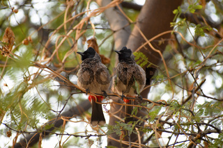 Two bulbuls on a tree branch. The bulbuls are a family, Pycnonotidae