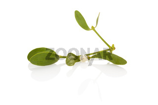 The Common Mistletoe (Viscum album) leaves are used in herbal medicine