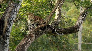 Leopard, Panthera Pardus, male, Nagarhole National park Karnataka, India