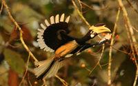 Malabar pied hornbill, Anthacoceros coronatus, Dandeli, Karnataka, India