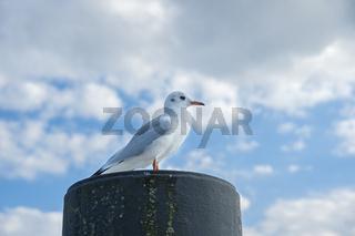 Möwe sitzt auf einem Poller im Hafen von Niendorf