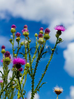 spiked thistle stalks with flowering branches grow to a blue sky