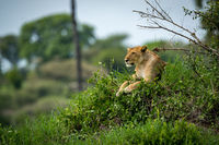 Lioness lying on grassy mound looking left