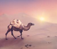 Bactrian camel in desert