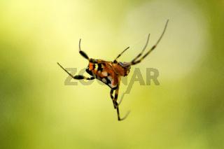 Pear shaped leucauge spider, Opadometa sp, Tetragnathidae, Trishna, Tripura