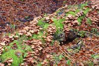 Gemeiner Hallimasch ,Armillaria ostoyae -  honey fungi or Armillaria ostoyae in autumn forest