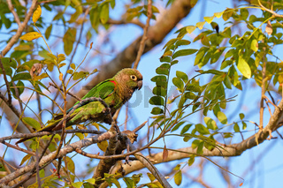 Scaly-headed Parrot, Pionus Maximiliani, perching on a branch in Pantanal, Aquidauana, Mato Grosso Do Sul, Brazil