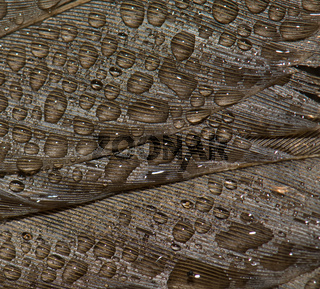 Detail of the song thrush (Turdus philomelos) plumage covered of dew drops. Dead specimen (run over). Guara mountains. Huesca. Aragon. Spain.