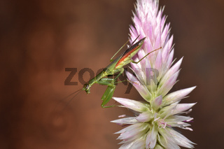 Praying mantis on a fern leaf, Mantodea, Rayagada, Odisha, India